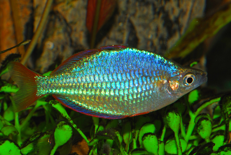 Neon dwarf rainbowfish melanotaenia praecox for Dwarf rainbow fish